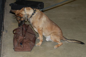 k-9 alerting on a duffle bag